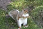 Squirrel (England)