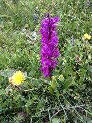 Wild orchids (Jura)