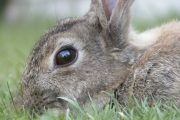 Rabbit (Holland)
