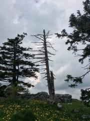 Jura - dead tree